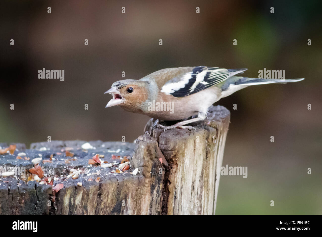 Male Chaffinch (Fringilla coelebs) warding off other birds from the feeding station. - Stock Image