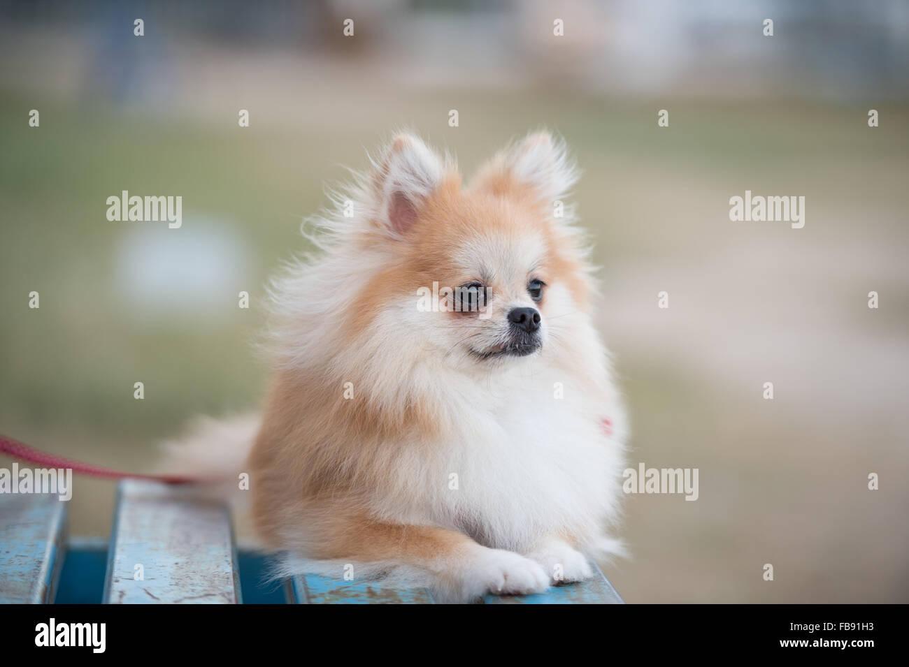 Pomeranian Dog Sitting On Amphitheater Stock Photo 93011887 Alamy