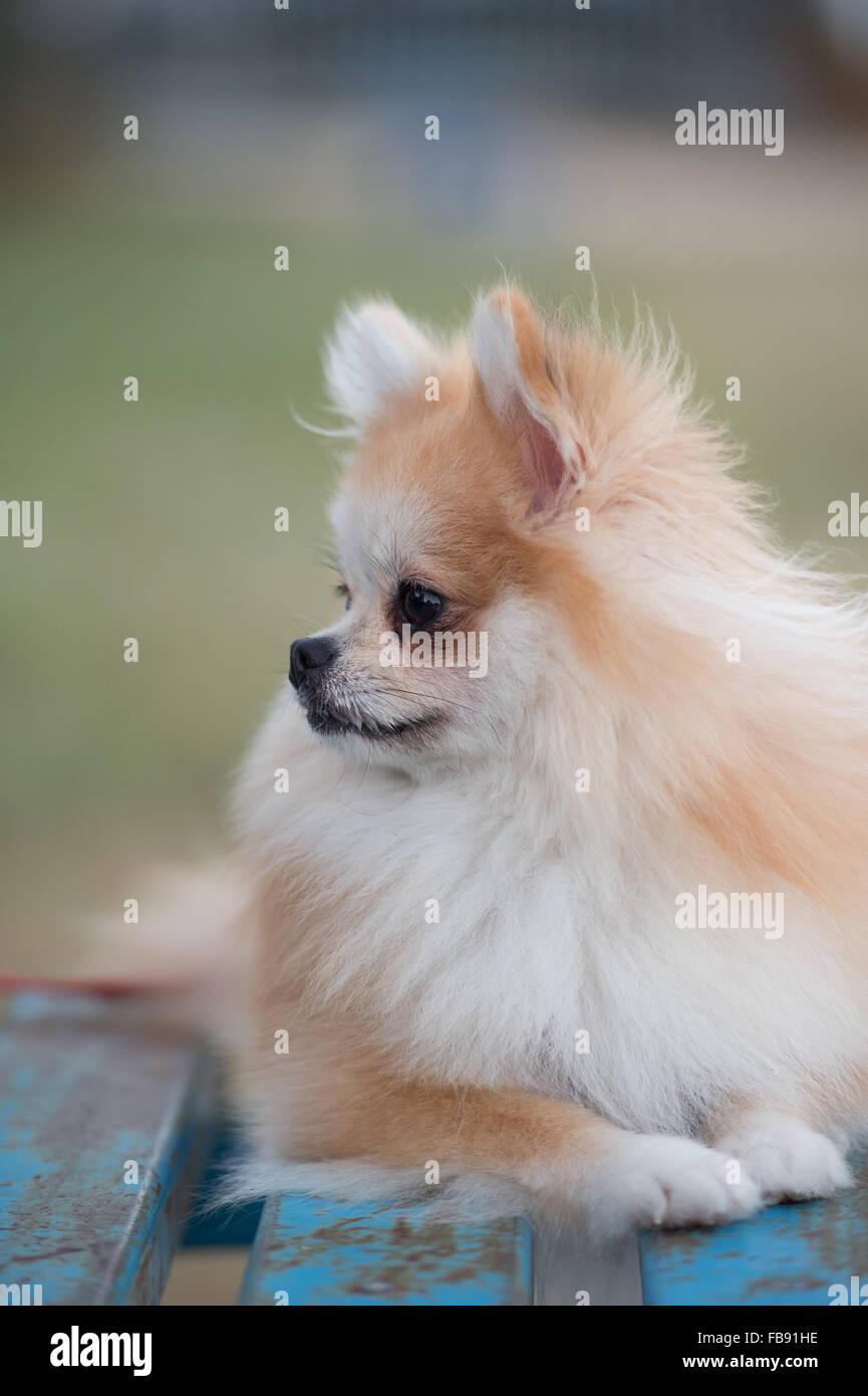 Pomeranian Dog Sitting On Amphitheater Stock Photo 93011898 Alamy