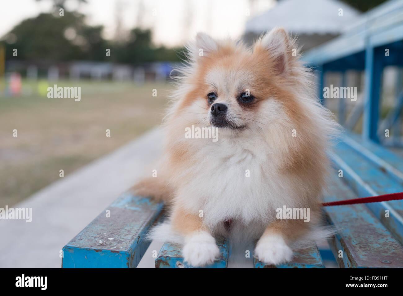 Pomeranian Dog Sitting On Amphitheater Stock Photo 93011908 Alamy