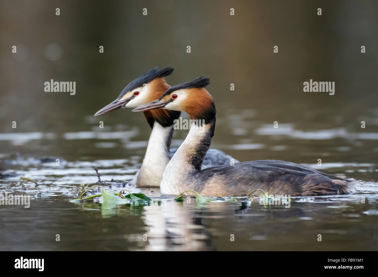 A pair of Great Crested Grebes (Podiceps cristatus) around the beginnings of a nest site. - Stock Image