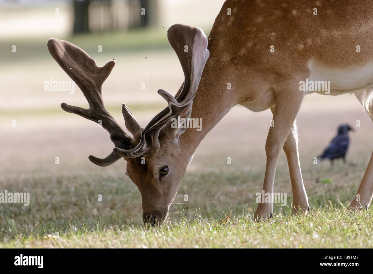 Fallow Deer (Dama dama) in velvet antlers, grazing on the short grass. - Stock Image