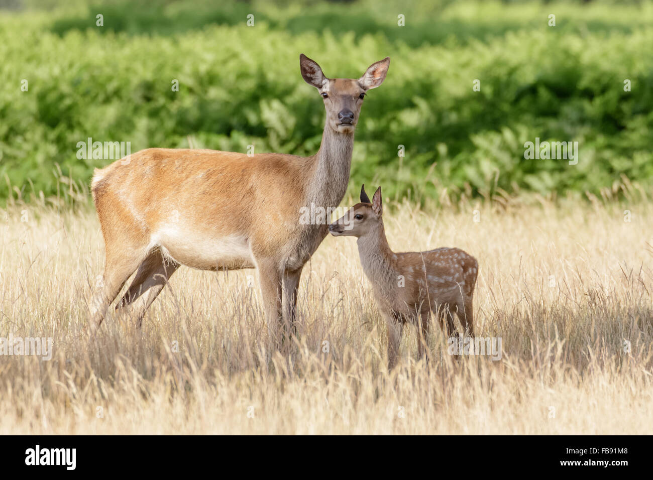 Red Deer (Cervus elaphus) hind mum mother and young baby calf in long grass. - Stock Image