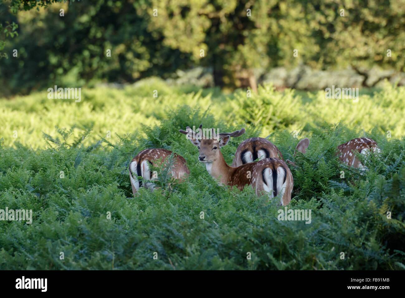 Fallow Deer (Dama dama) foraging among the ferns. - Stock Image