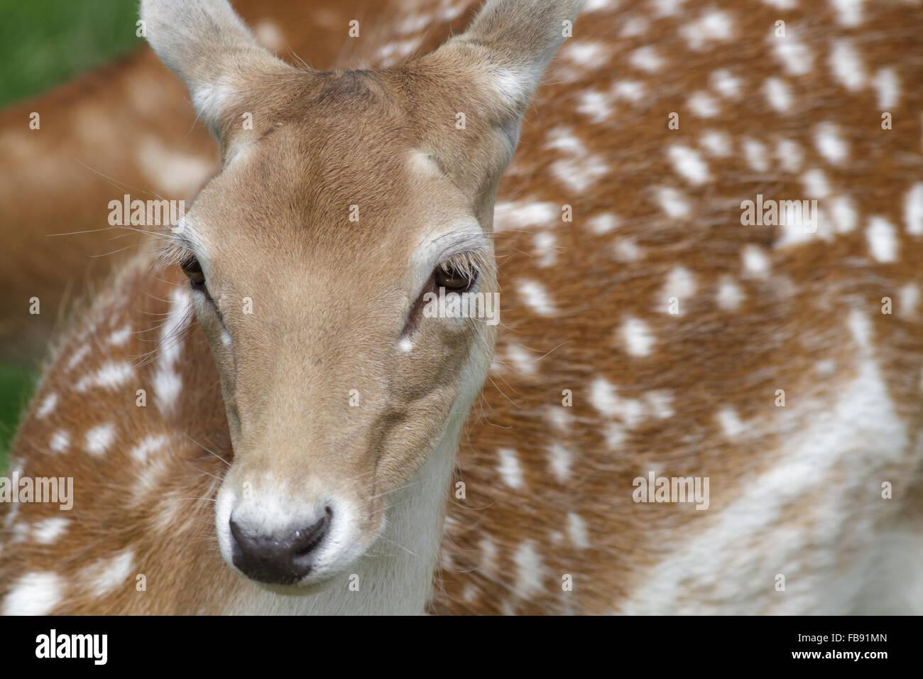 Portrait of a spotty Fallow Deer (Dama dama) in the summer. - Stock Image