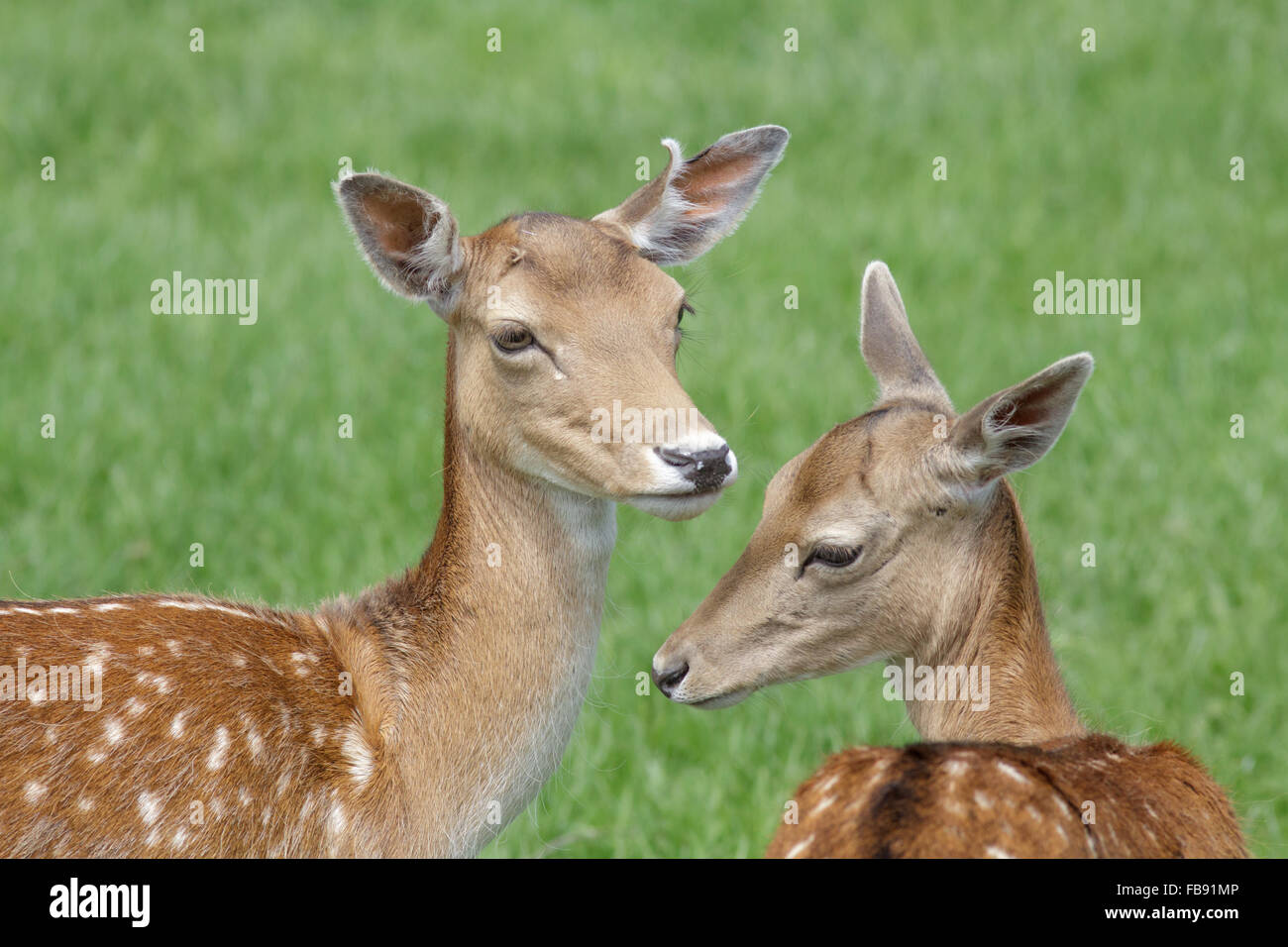 Close-up of a pair of spotty Fallow Deer (Dama dama) in the  park in summer. - Stock Image