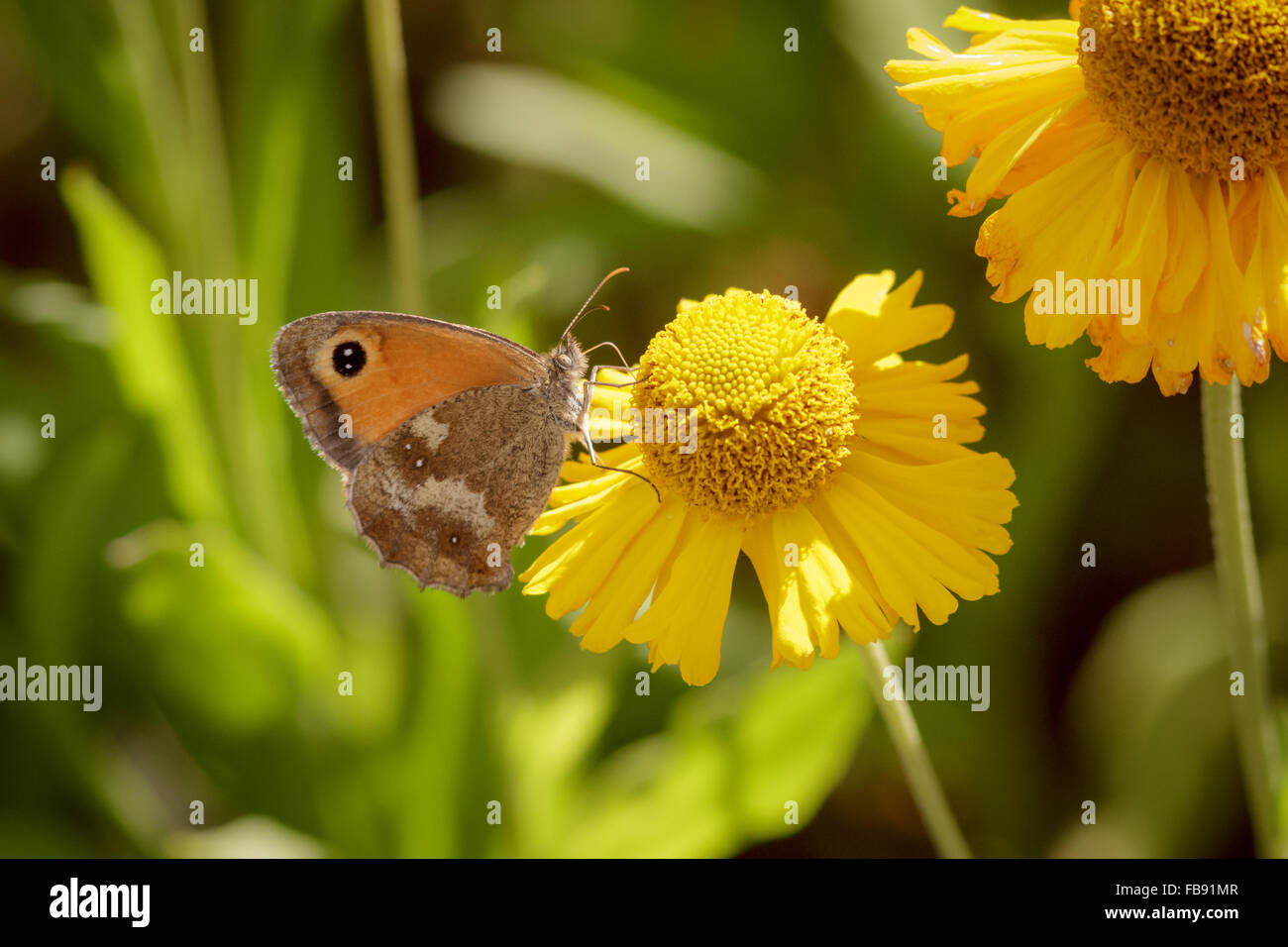 Gatekeeper butterfly (Pyronia tithonus) perched on a daisy. - Stock Image