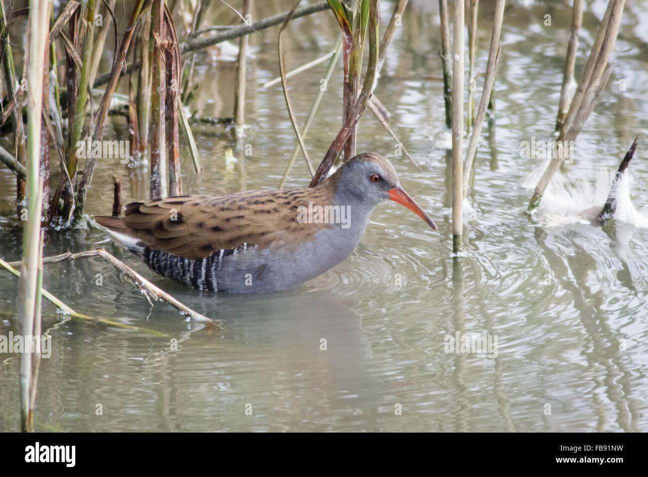 Water Rail (Rallus aquaticus) skulking among the reeds. - Stock Image