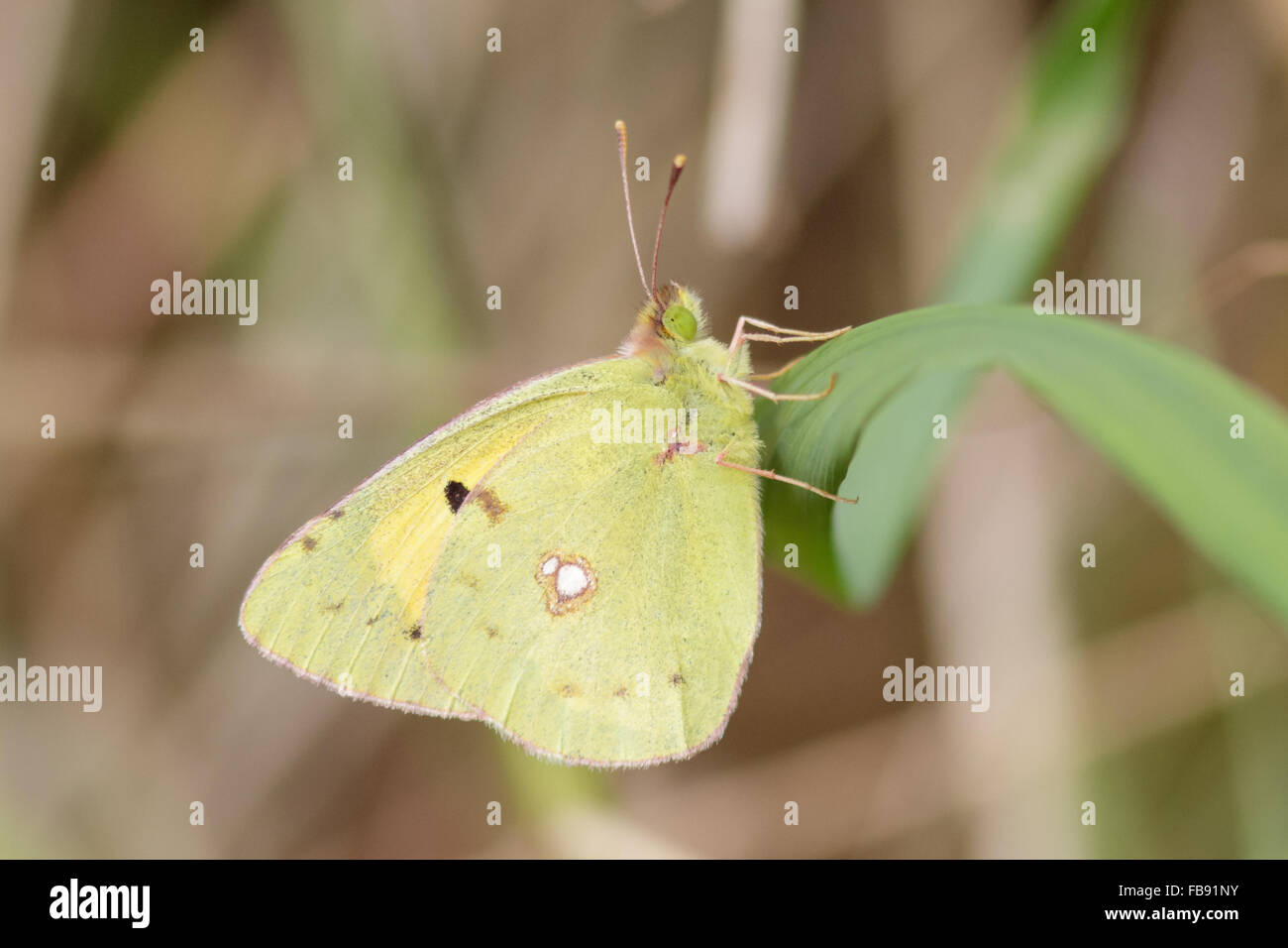 Clouded yellow butterfly (Colias croceus) perched on a reed. - Stock Image