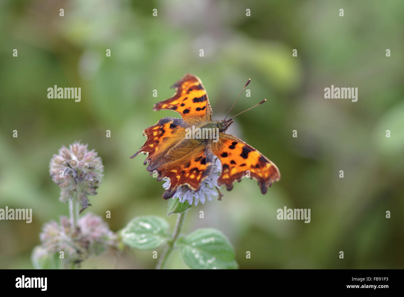 Comma butterfly perched on a flower. - Stock Image