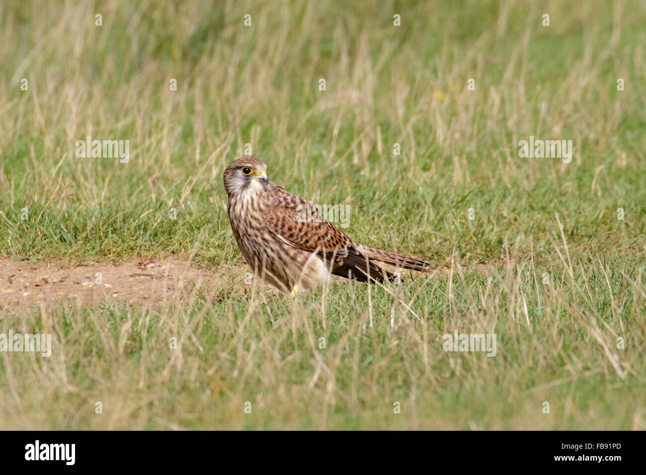 Female Common Kestrel (Falco tinnunculus) foraging for insects on the ground. - Stock Image