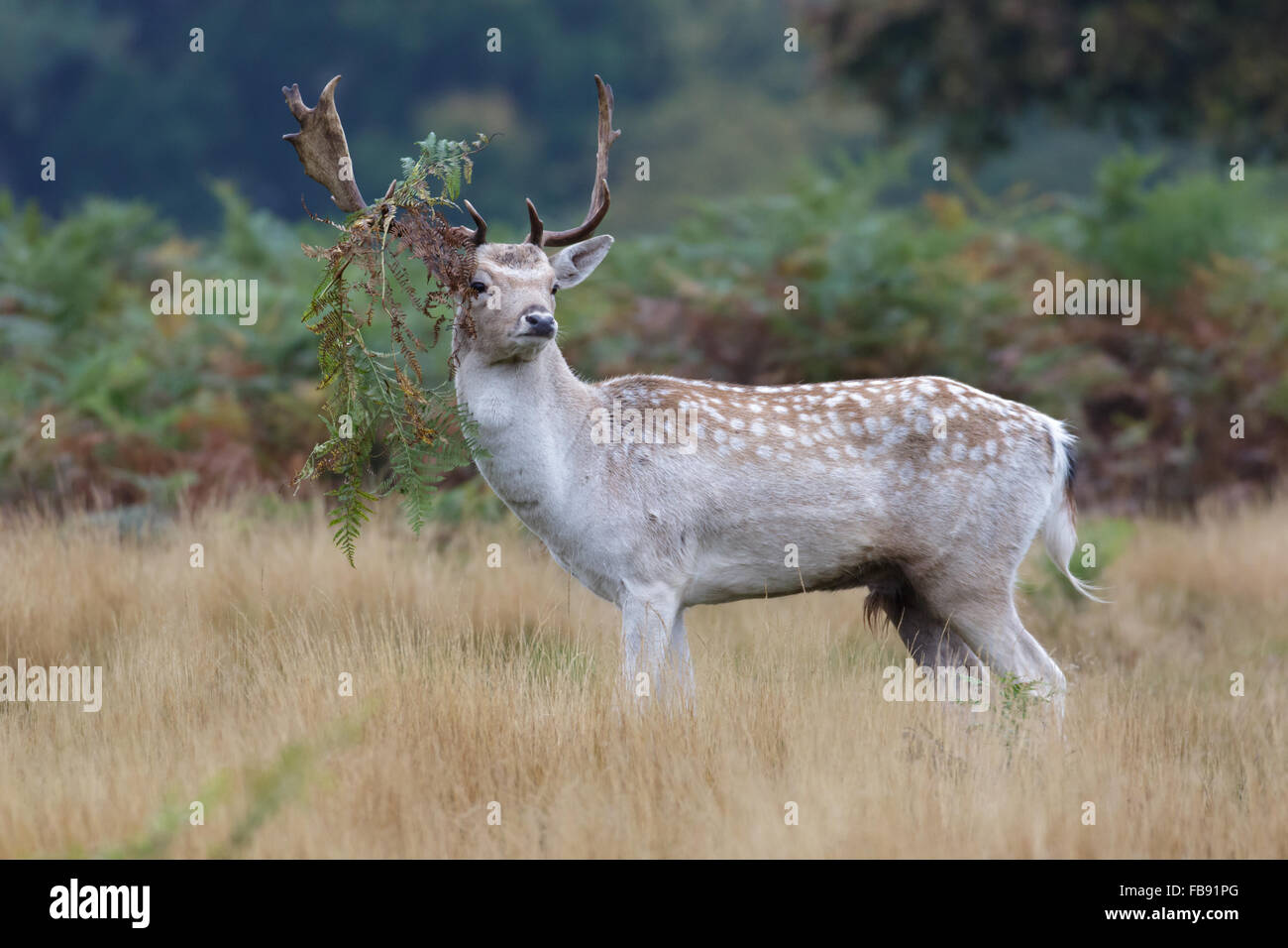 Pale coloured Fallow Deer rut buck (Dama dama) with bracken hanging from its' antlers. - Stock Image