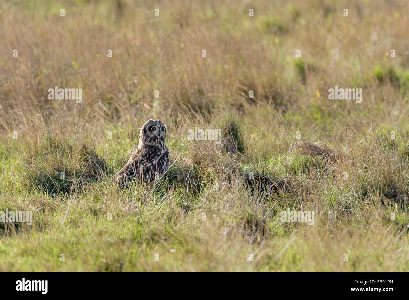 Short-eared Owl (Asio flammeus) resting among the long grass in a meadow. - Stock Image