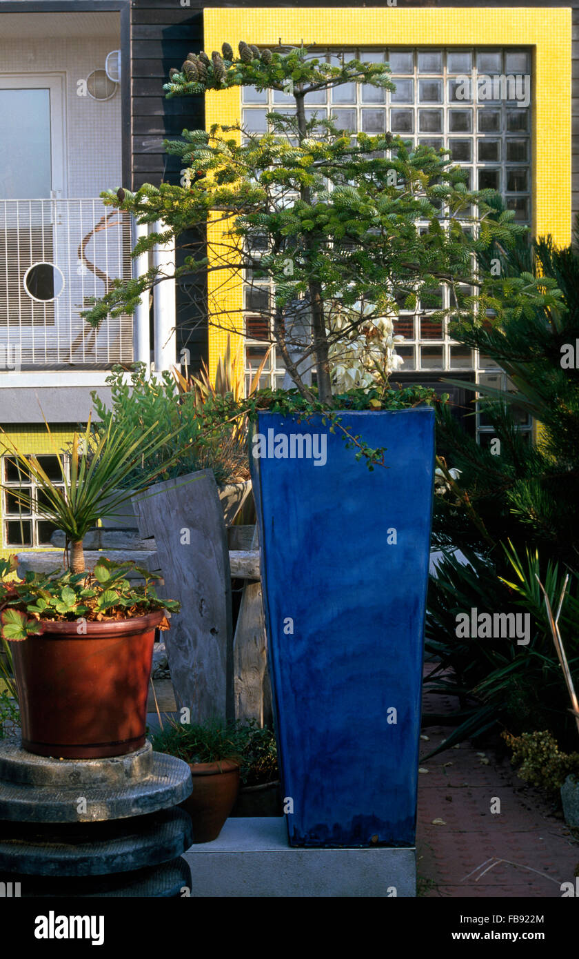 Tall blue planter with a small fir tree on paving in front of a modern house with yellow paintwork and a grid paned - Stock Image