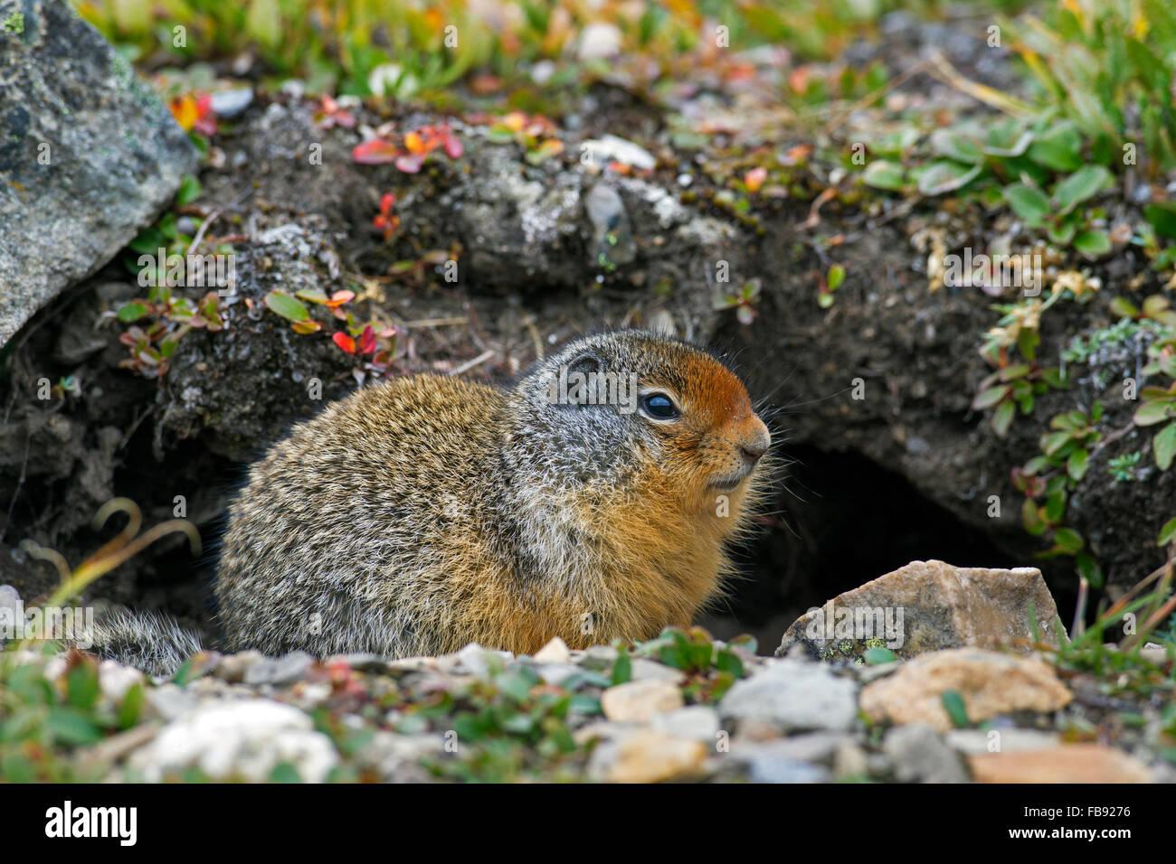 Columbian ground squirrel (Urocitellus columbianus / Spermophilus columbianus) in front of burrow, native to Canada - Stock Image