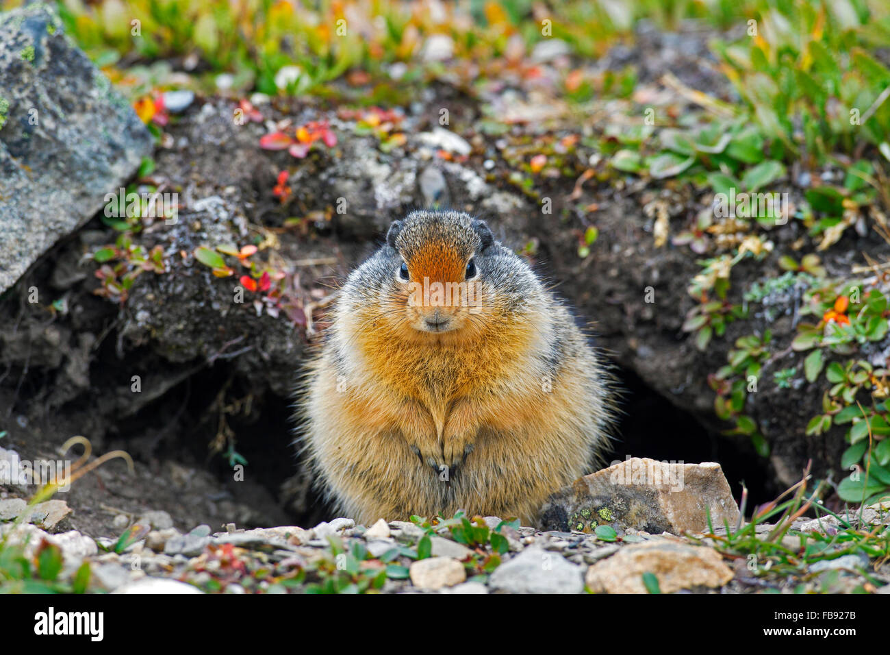 Columbian ground squirrel (Urocitellus columbianus / Spermophilus columbianus) in front of burrow, native to Canada Stock Photo