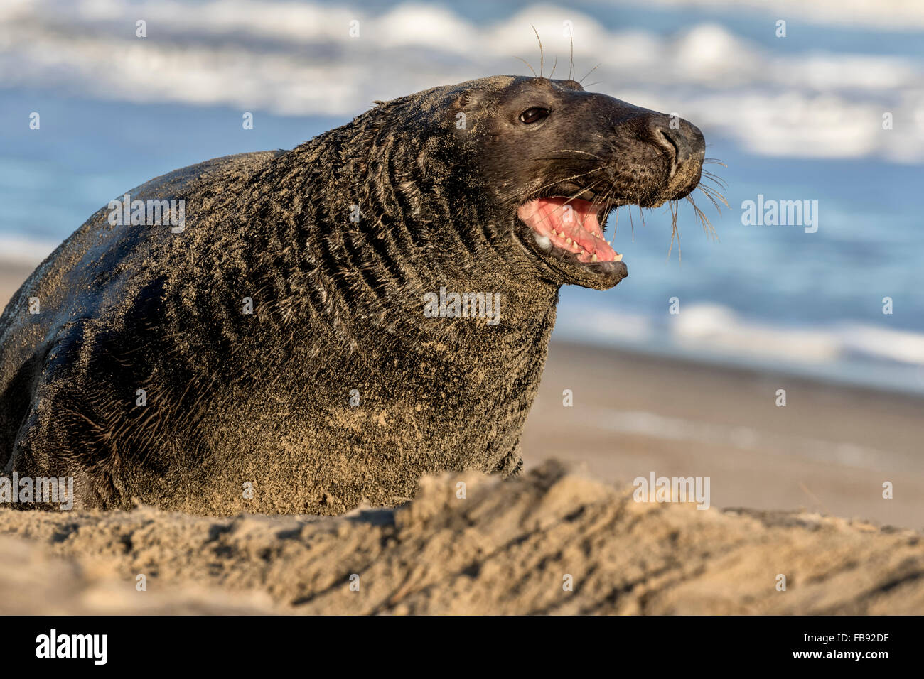 Atlantic Grey Seal - Halichoerus grypus - Stock Image
