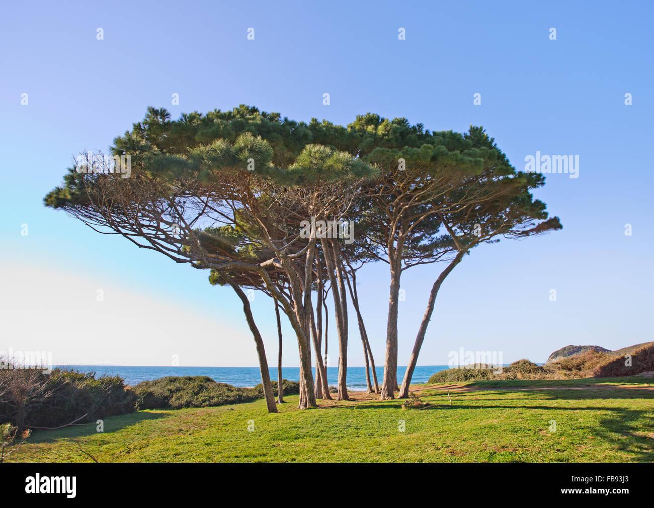 Maritime Pine tree group near sea and beach. Baratti Piombino, Tuscany, Italy. - Stock Image
