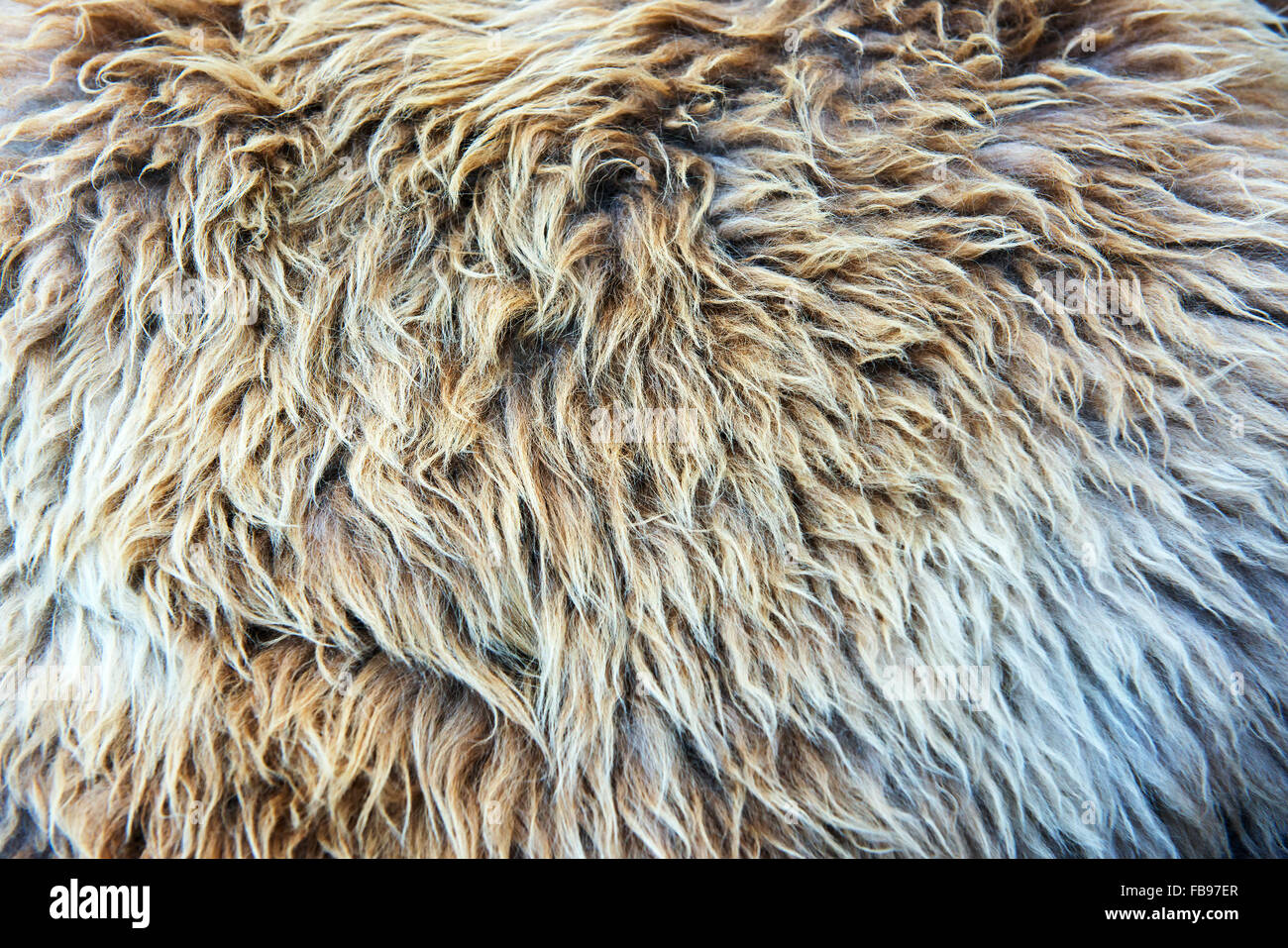 Fur texture closeup with soft shaggy hair - Stock Image