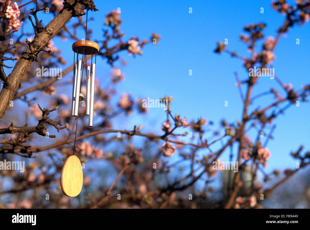 Close-up of a wind chime and fragrant pink Viburnum 'Bodnantense' - Stock Image