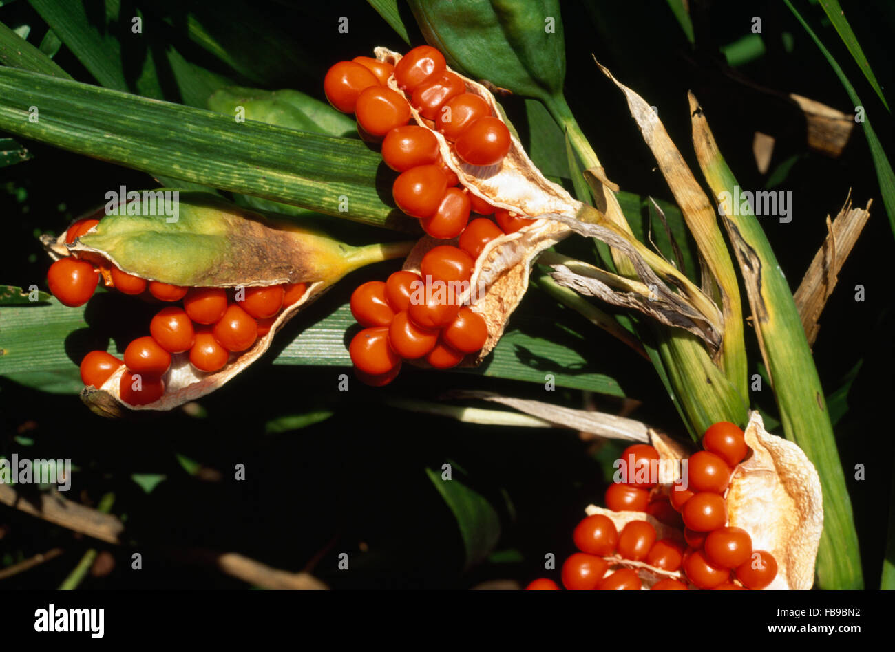 Close-up of the orange red berries of Crocosmia Lucifer Stock Photo