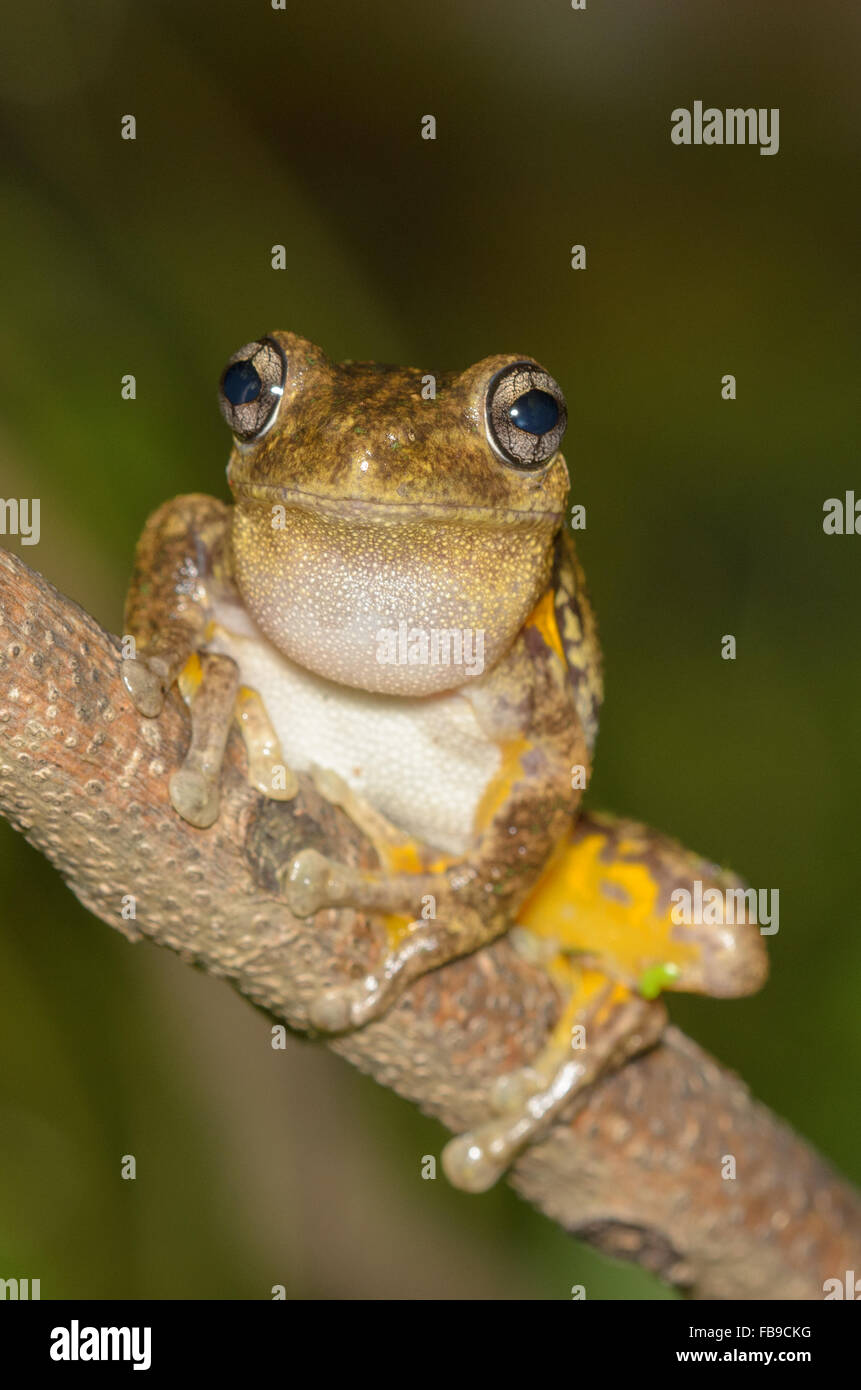 Calling male Peron's tree frog, Litoria peronii, at Glenbrook, New South Wales, Australia. - Stock Image