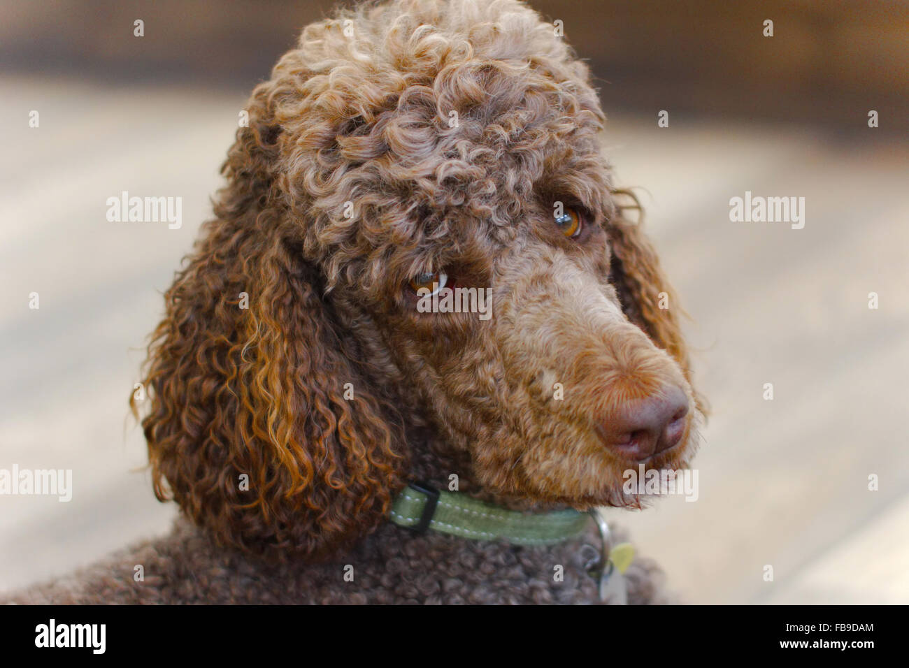 Brown adult standard poodle looking into camera - Stock Image