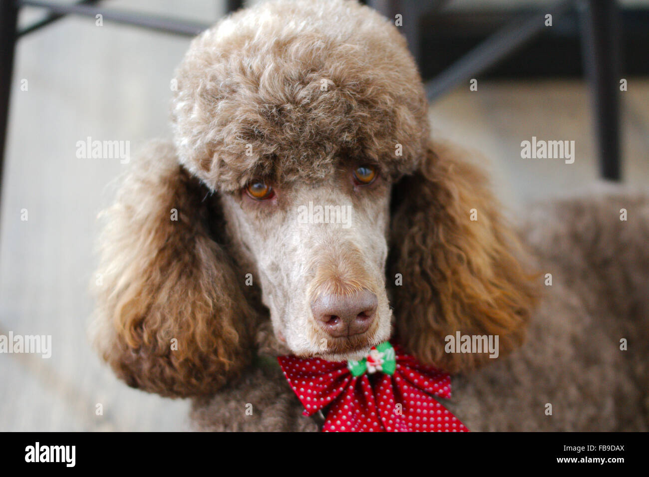 My friend Charlie the standard poodle with bow tie Stock Photo