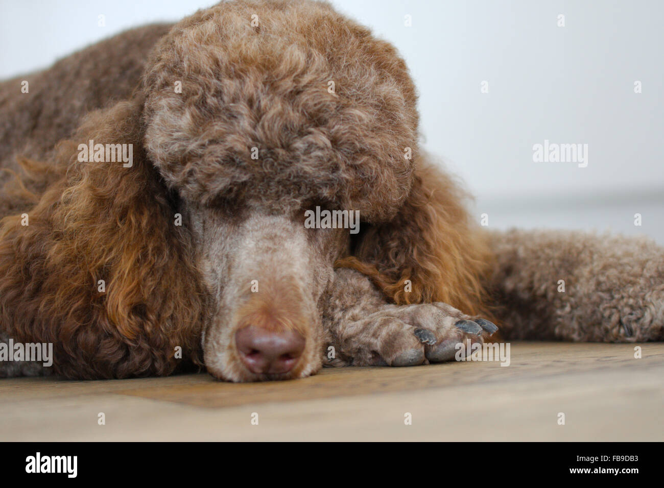 My friend Charlie the standard poodle having a sleep - Stock Image