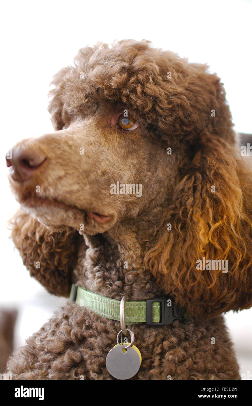 Charlie Brown the brown adult standard poodle - Stock Image