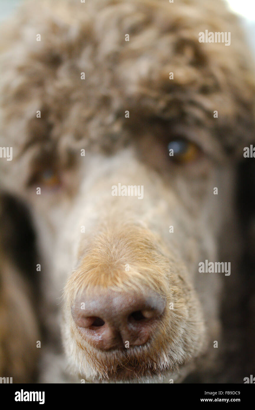 My friend Charlie the brown standard poodle - Stock Image
