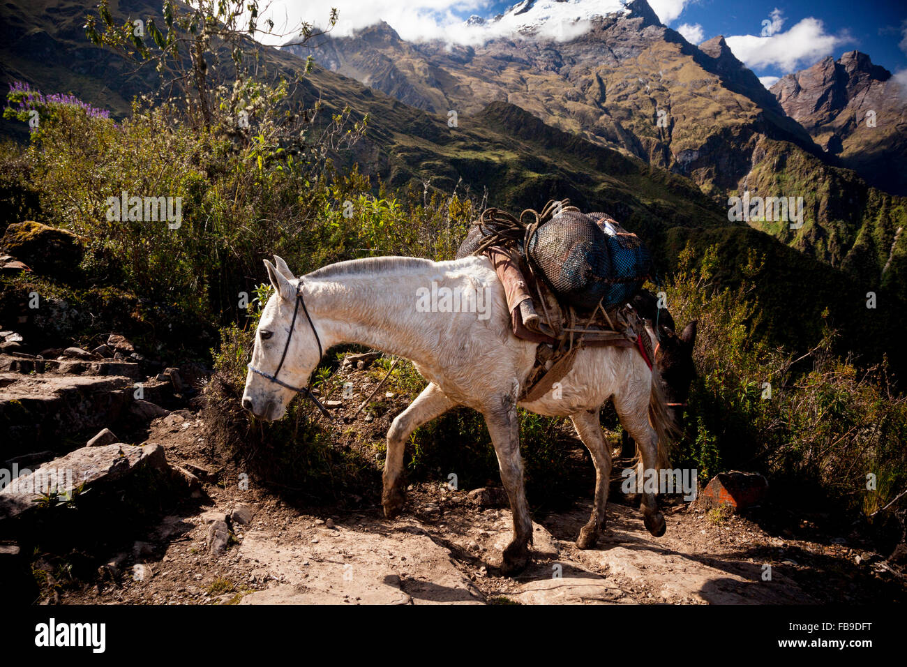 A pack-mule approaches a mountain pass on the Choququirao Trail, Peru. - Stock Image