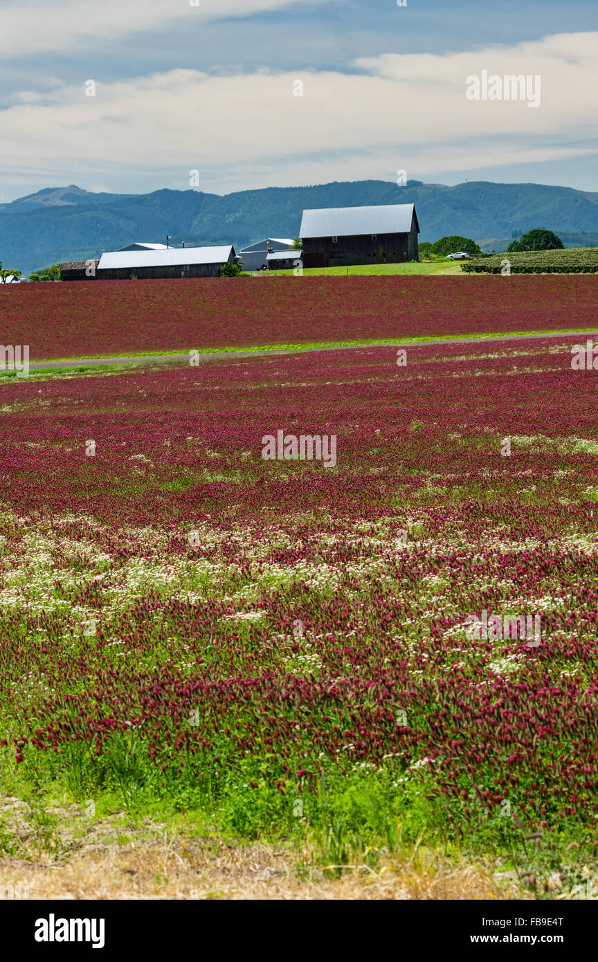 Farm lands planted in red clover with barns and farm buildings.  Banks, Oregon, USA - Stock Image