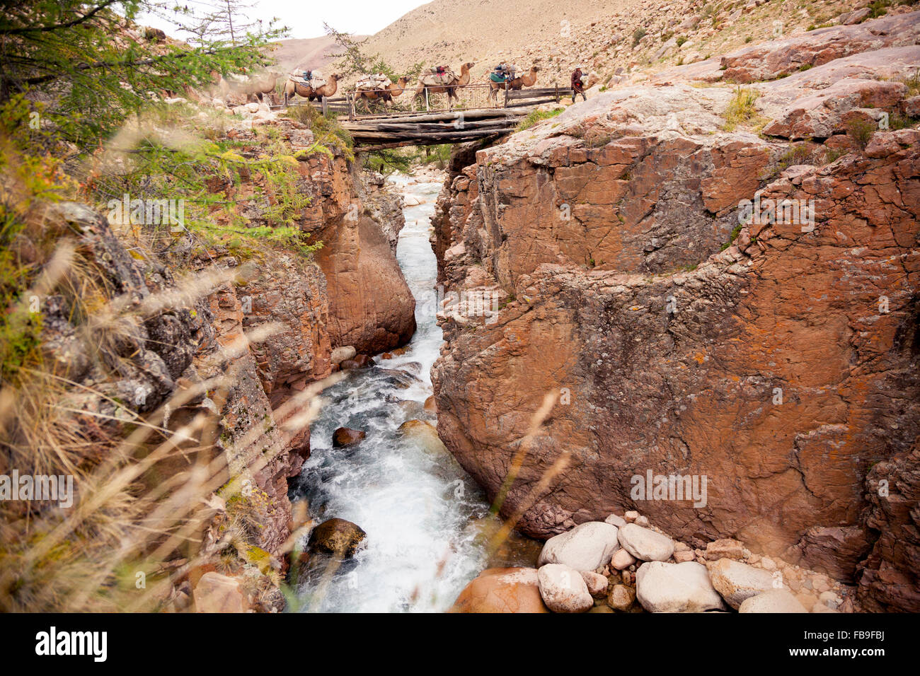 A nomad guide leads his pack camels over a log bridge during a trek in remote Kharkhiraa Turgen National Park, Mongolia. - Stock Image