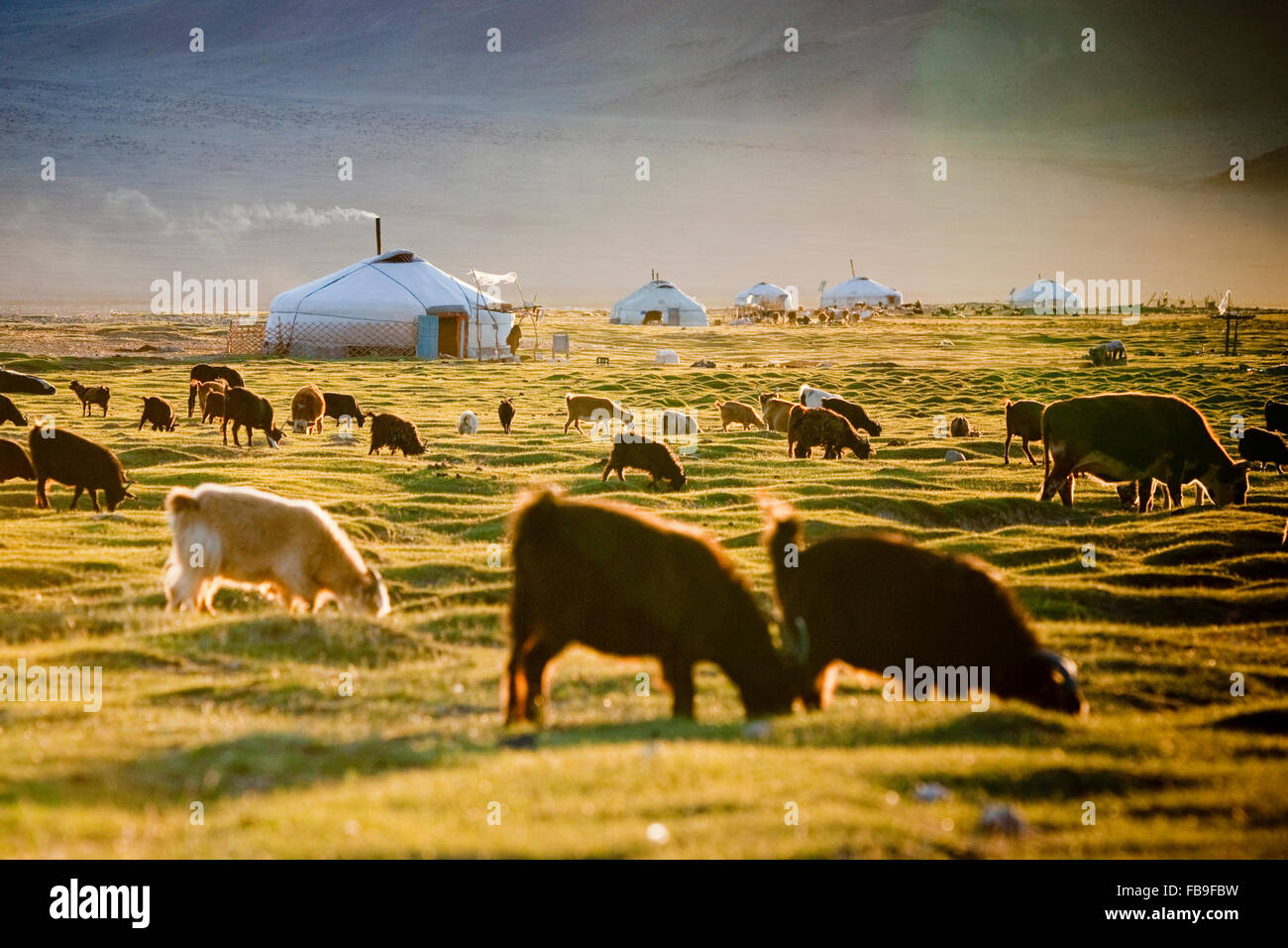 A herd grazing during a mild summer in the sometimes extreme climate of the Tsaast Uul valley in remote western Stock Photo