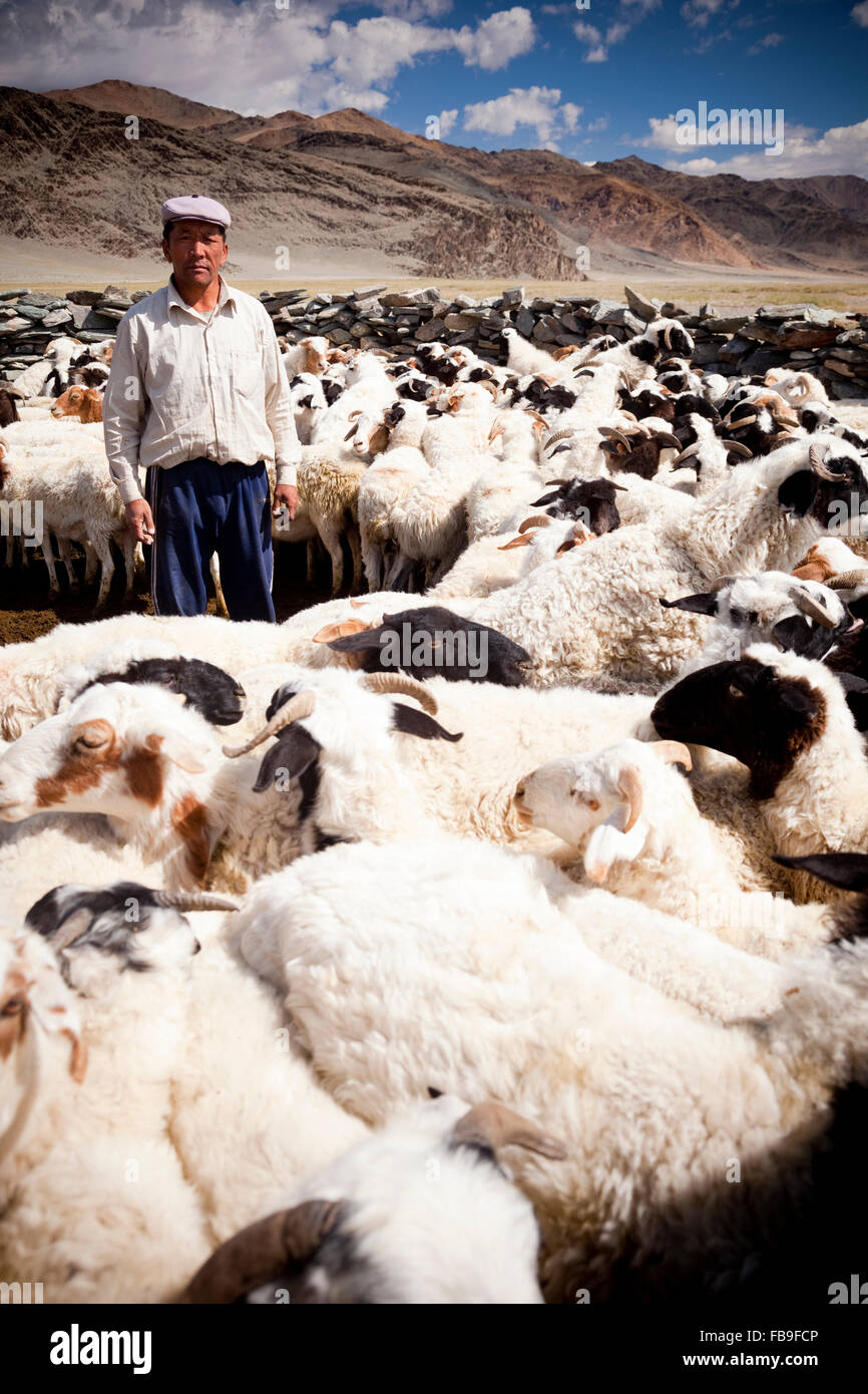 A herder corralling his sheep for drenching in remote far-western Mongolia. - Stock Image