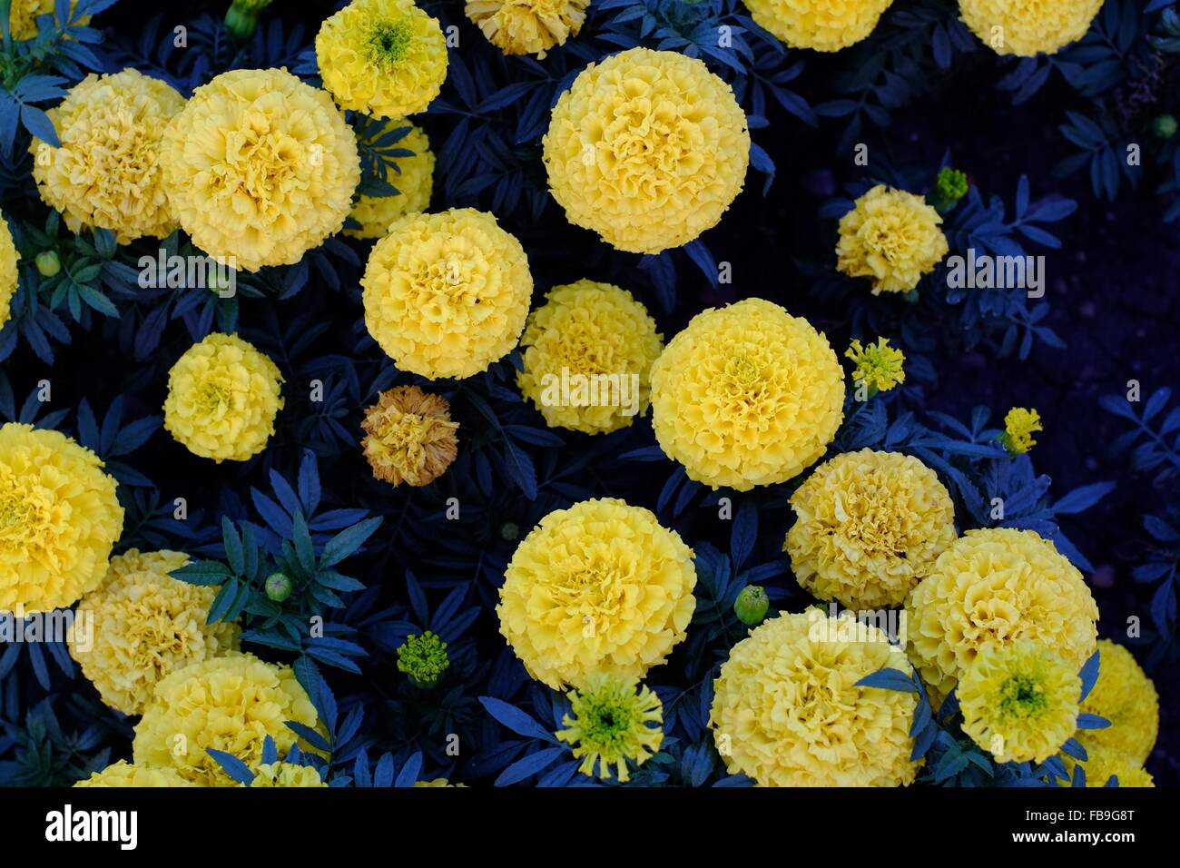 Round yellow flowers stock photos round yellow flowers stock round yellow flowers on a dark blue background foliage stock image mightylinksfo