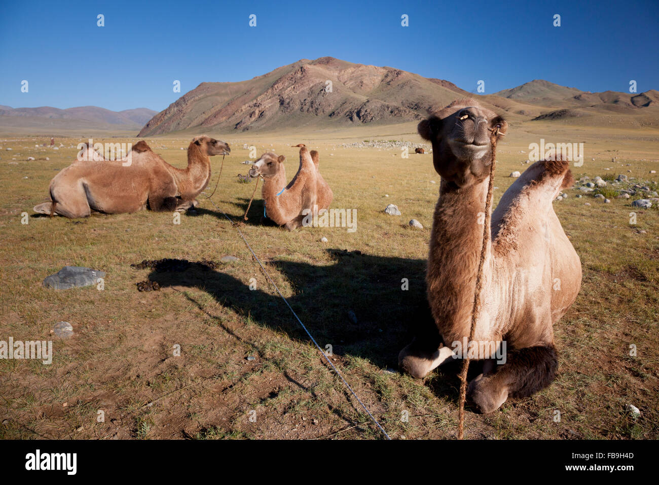 Pack camels staked and tied for grazing, Kharkhiraa Turgen National Park, Mongolia. - Stock Image