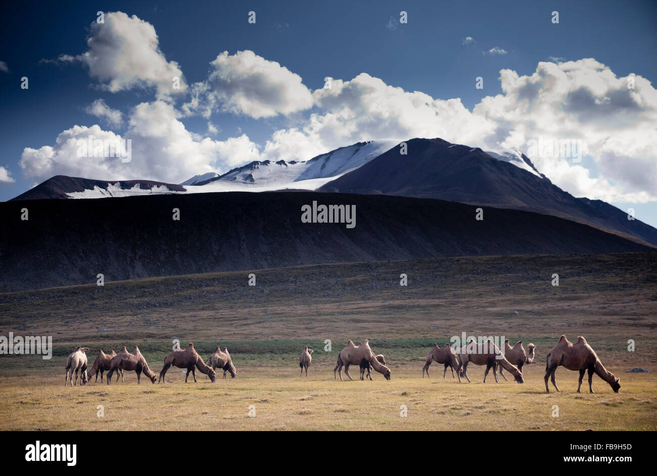 A camel train used for transport is put out to refuel on the high mountain grasses at the top of Kharkhiraa valley, - Stock Image