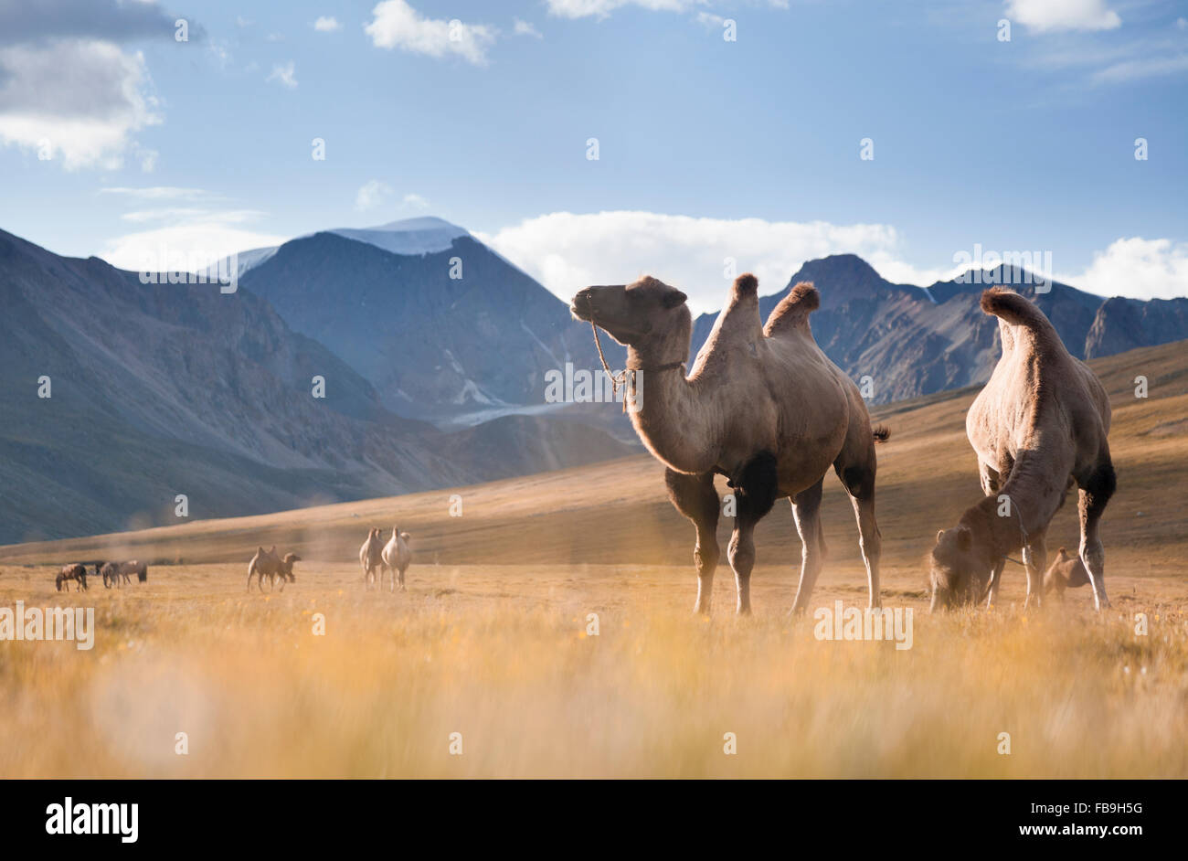 Camels grazing in Kharkhiraa Turgen National Park, far-western Mongolia. - Stock Image