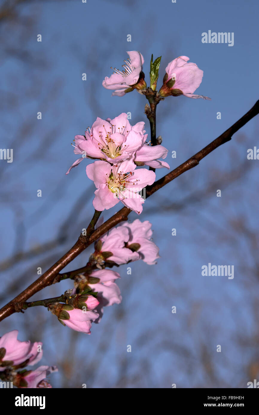 A peach tree bloom's  in North Georgia, USA. - Stock Image