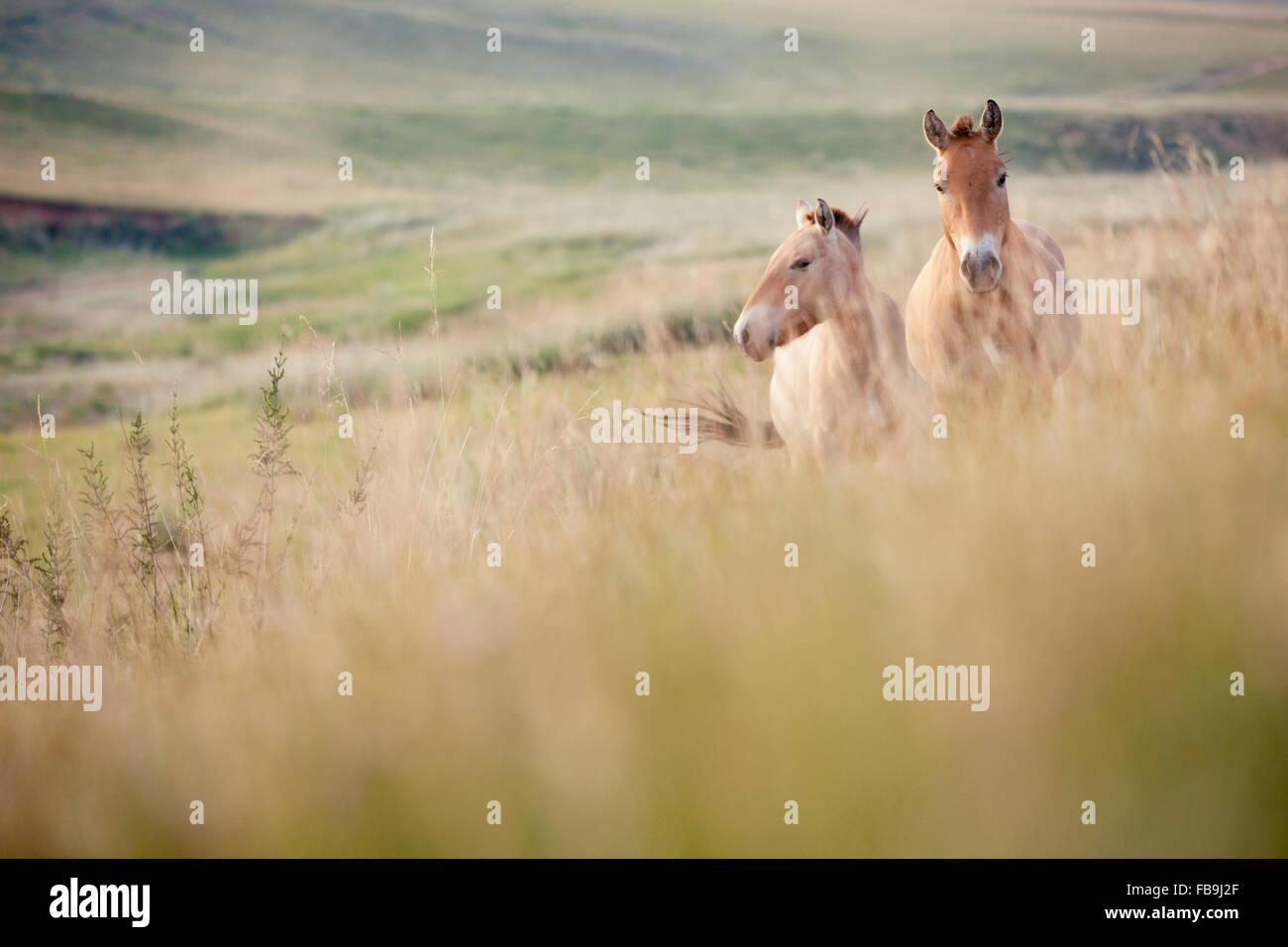 Wild Przewalski's horses in Khustain Nuruu National Park, Mongolia. - Stock Image