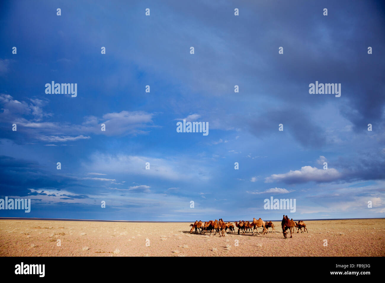 A herd of Bactrian camel in the Gobi Desert, Mongolia. - Stock Image