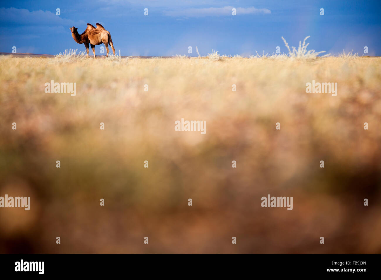 A Bactrian camel in the Gobi Desert, Mongolia. - Stock Image