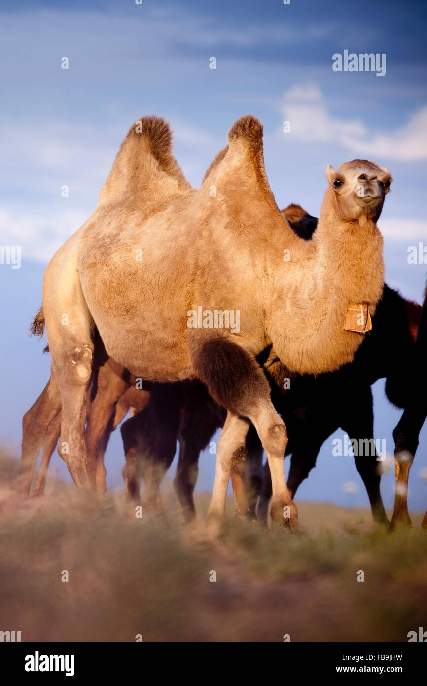 Bactrian camels in the Gobi Desert, Mongolia. - Stock Image