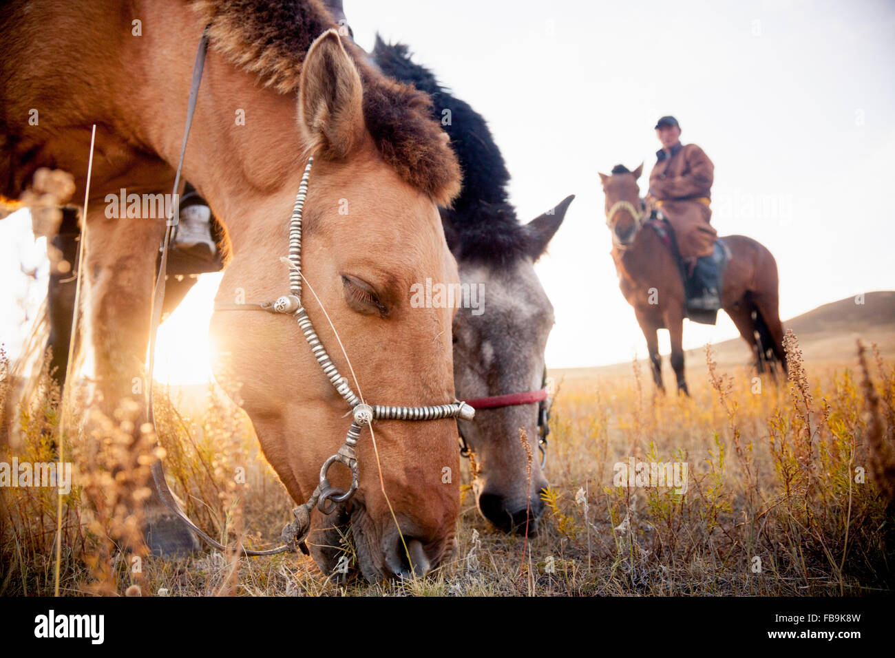 A herder's horses graze on later summer grass in Gorkhi Terelj National Park, Mongolia. - Stock Image