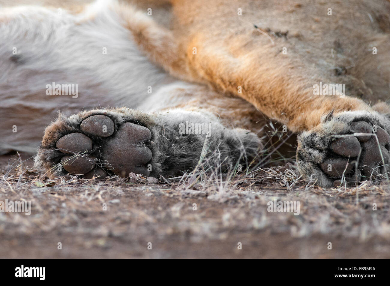 Lion Paws - Stock Image