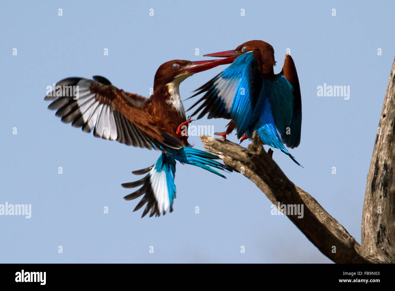 White-throated Kingfisher or White-breasted Kingfisher - Stock Image