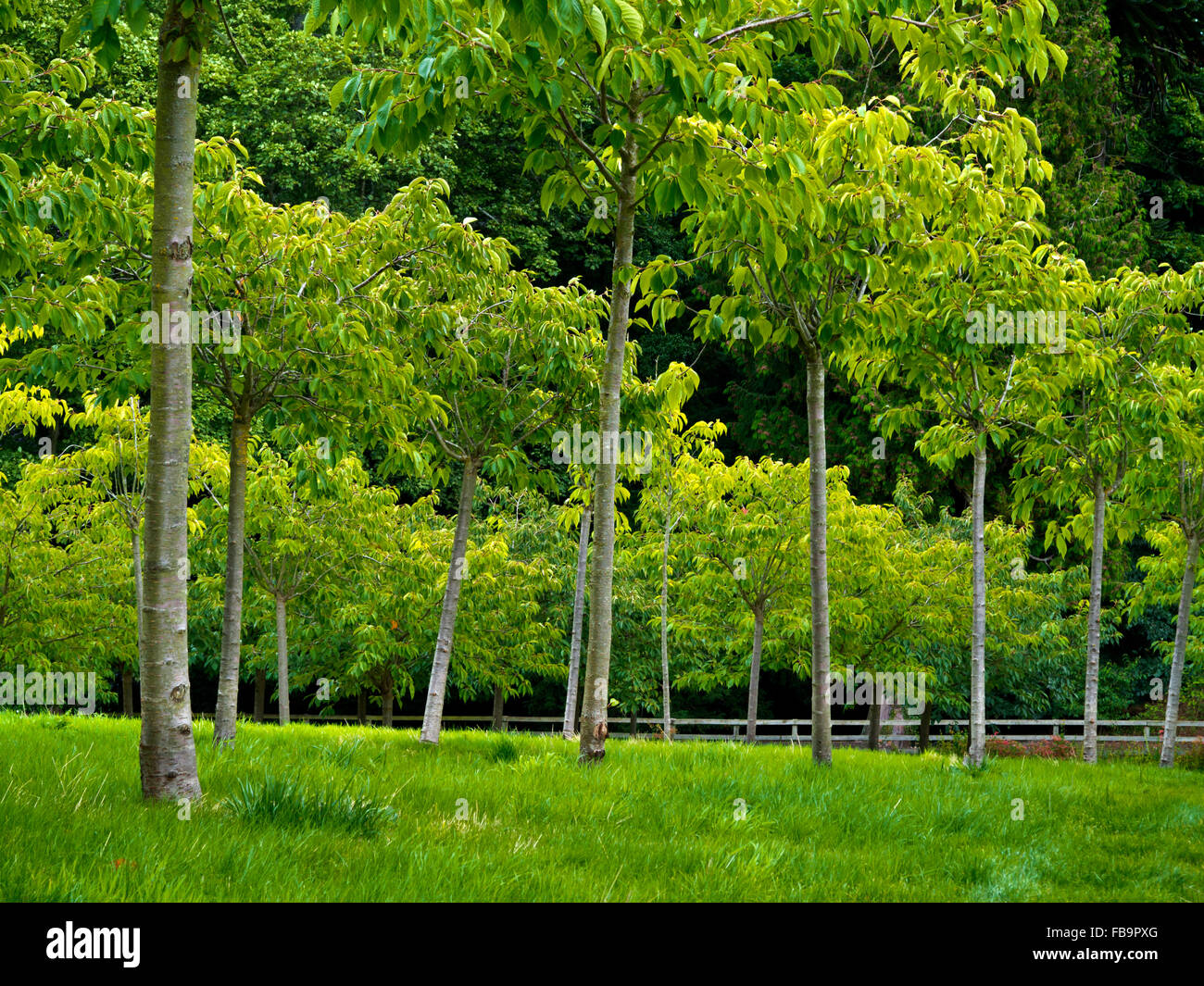 The Cherry Orchard at Alnwick Gardens in Northumberland England UK designed by Jacques and Peter Wirtz - Stock Image