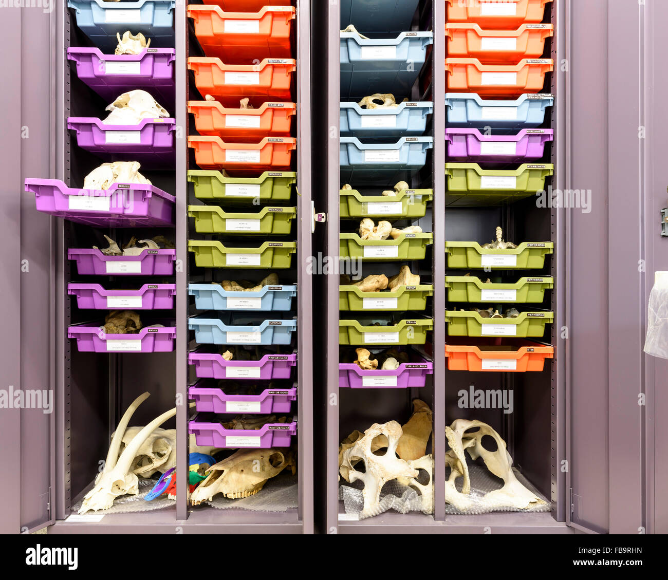 The Fitch Laboratory reference collection of animal bones, hosting modern skeletons of a large number of species. Stock Photo